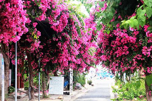 Con đường 200 m trồng 60 cây hoa giấy ở Nha Trang 1