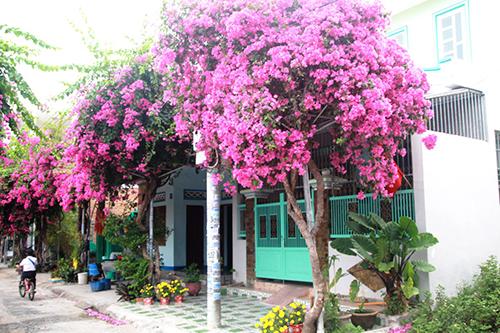Con đường 200 m trồng 60 cây hoa giấy ở Nha Trang 2