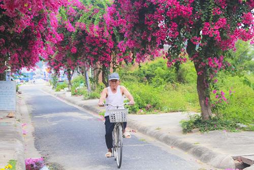 Con đường 200 m trồng 60 cây hoa giấy ở Nha Trang 3