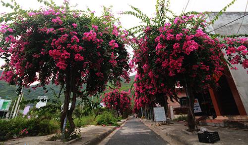 Con đường 200 m trồng 60 cây hoa giấy ở Nha Trang 4
