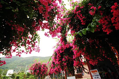 Con đường 200 m trồng 60 cây hoa giấy ở Nha Trang 5
